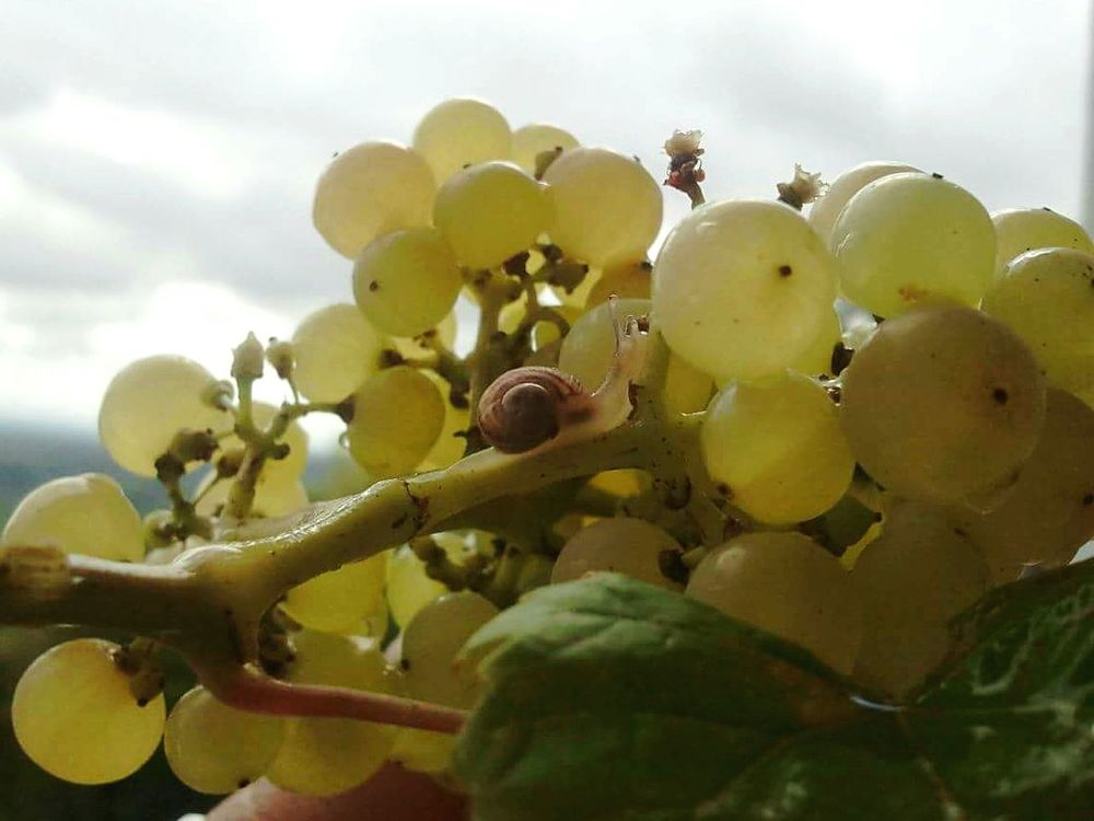 Grapes Snail Gray Sky Green Leaves Fruit Yellow Animal Shell Beautiful Nature Animals In The Wild Fresh Waterdrops Taking Pictures Sky Stormy Weather From My Point Of View Close-up Skyporn White Clouds Delicious Fresh Fruits Raisins Colour Of Life Yellow Fruits Fruitporn Color Palette