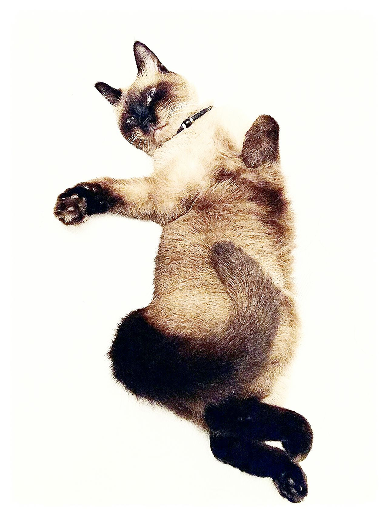 Cat Catlover Cat Photography Ragdoll Cat Model