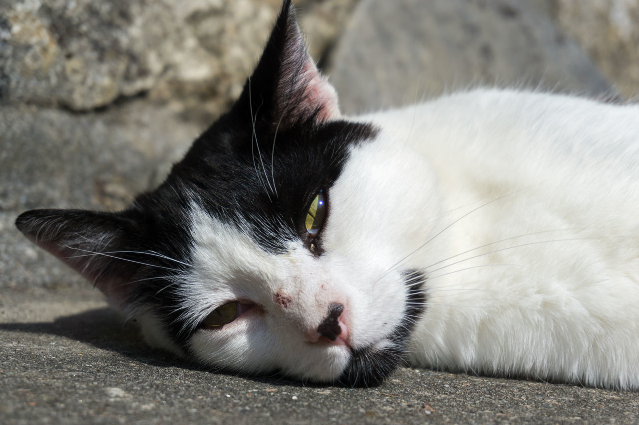 one animal, pets, domestic animals, animal themes, mammal, domestic cat, feline, lying down, no people, portrait, outdoors, close-up, day