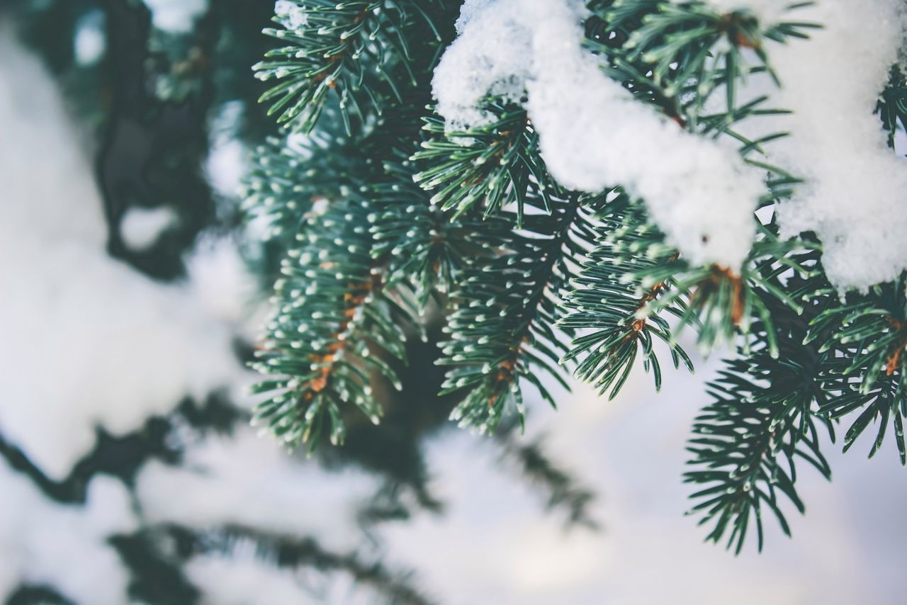 cold temperature, winter, weather, nature, snow, tree, beauty in nature, frozen, branch, pine tree, day, no people, close-up, growth, needle - plant part, green color, christmas tree, outdoors, fir tree, spruce tree, needle, snowflake, freshness, sky