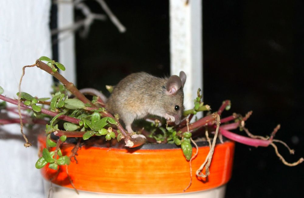 Now I know who has been eating my plants every night... Mouse Close-up Unexpected Visitor