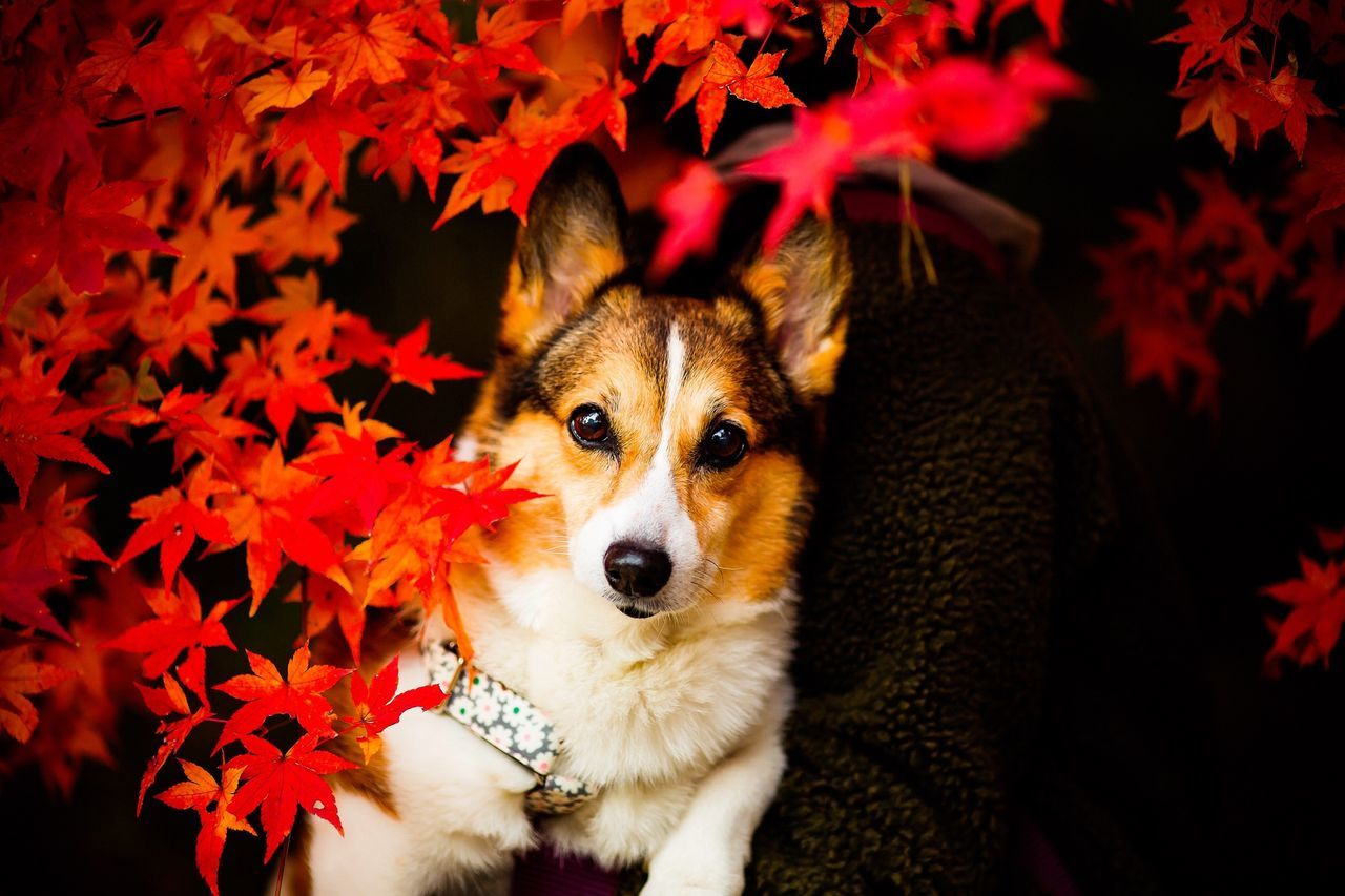 Dog Corgi Welsh Corgi Pochiko Momiji Japanese Maple Autumn Leaves Autumn Colors Colors Of Autumn Canon5Dmk3