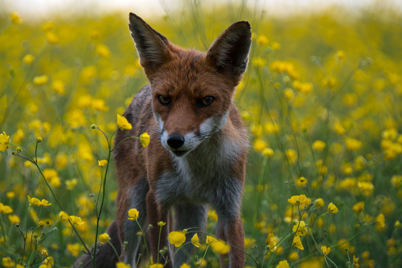 Beautiful stock photos of fuchs, Animal Themes, Animal Wildlife, Animals In The Wild, Beauty In Nature