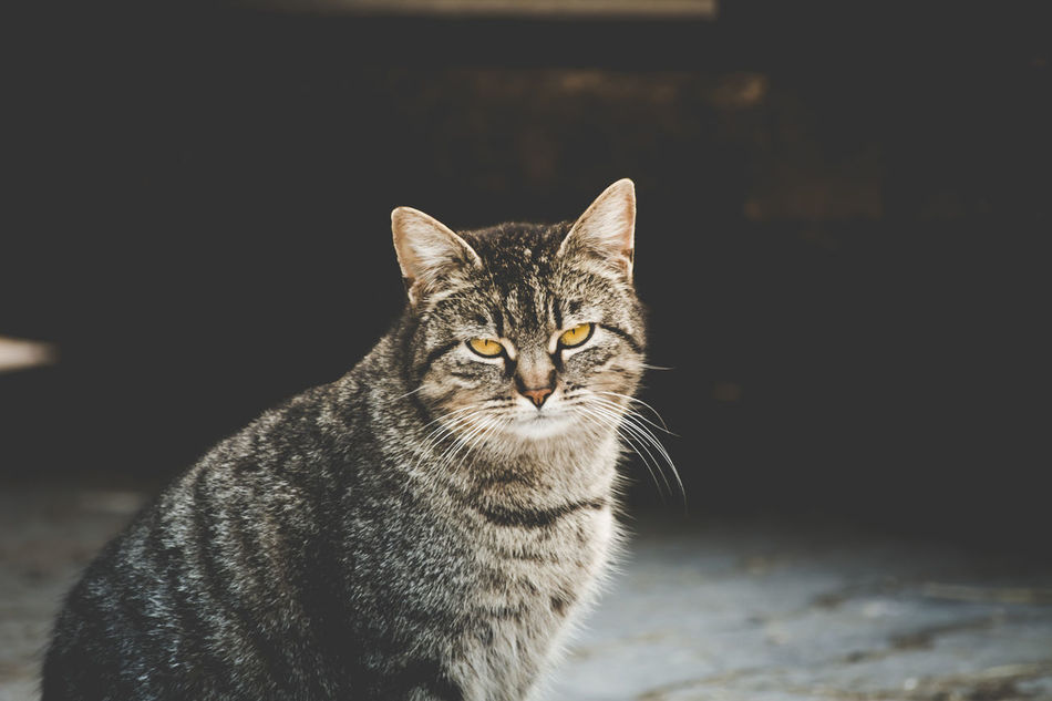 Alertness Animal Animal Body Part Animal Eye Animal Head  Animal Themes Cat Close-up Curiosity Domestic Animals Domestic Cat Feline Focus On Foreground Mammal Nature No People Outdoors Pets Popular Popular Photos Portrait Selective Focus Staring Vscocam Whisker