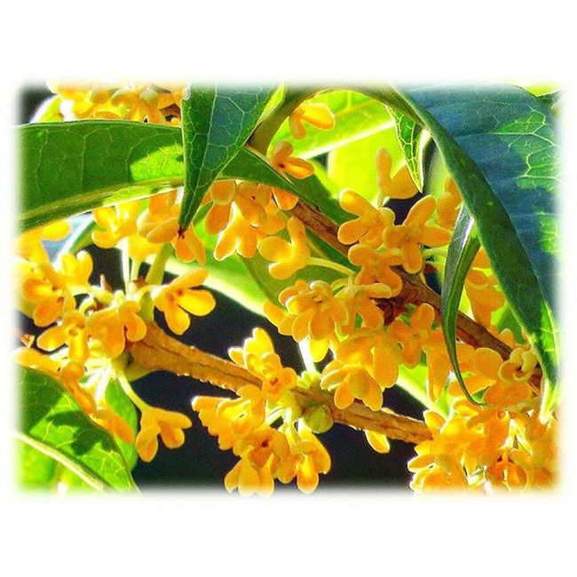 🌿 キンモクセイは良い香り🎶😊 Osmanthus is fragrant🎶😊 ※ ※ キンモクセイ Osmanthus 良い香り Fragrant 花petals 植物Plants Japan日本 Natur自然綺麗 癒しcomfort 休息Rest 安らぎpeace zenhappiness  flowerspositivity 🌿 flower_Japan_nagoya_mitu