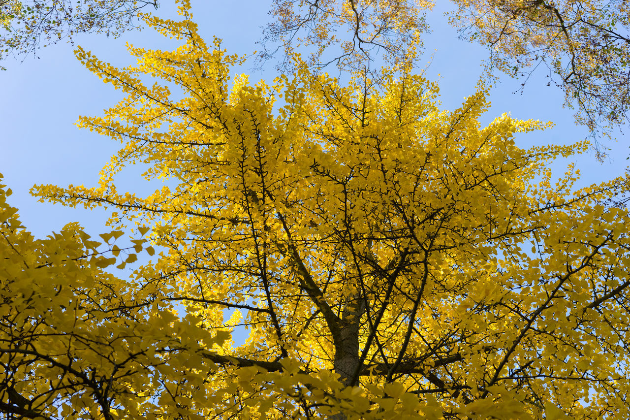 tree, autumn, nature, growth, low angle view, beauty in nature, yellow, branch, day, leaf, change, outdoors, flower, no people, freshness, fragility, sky, close-up