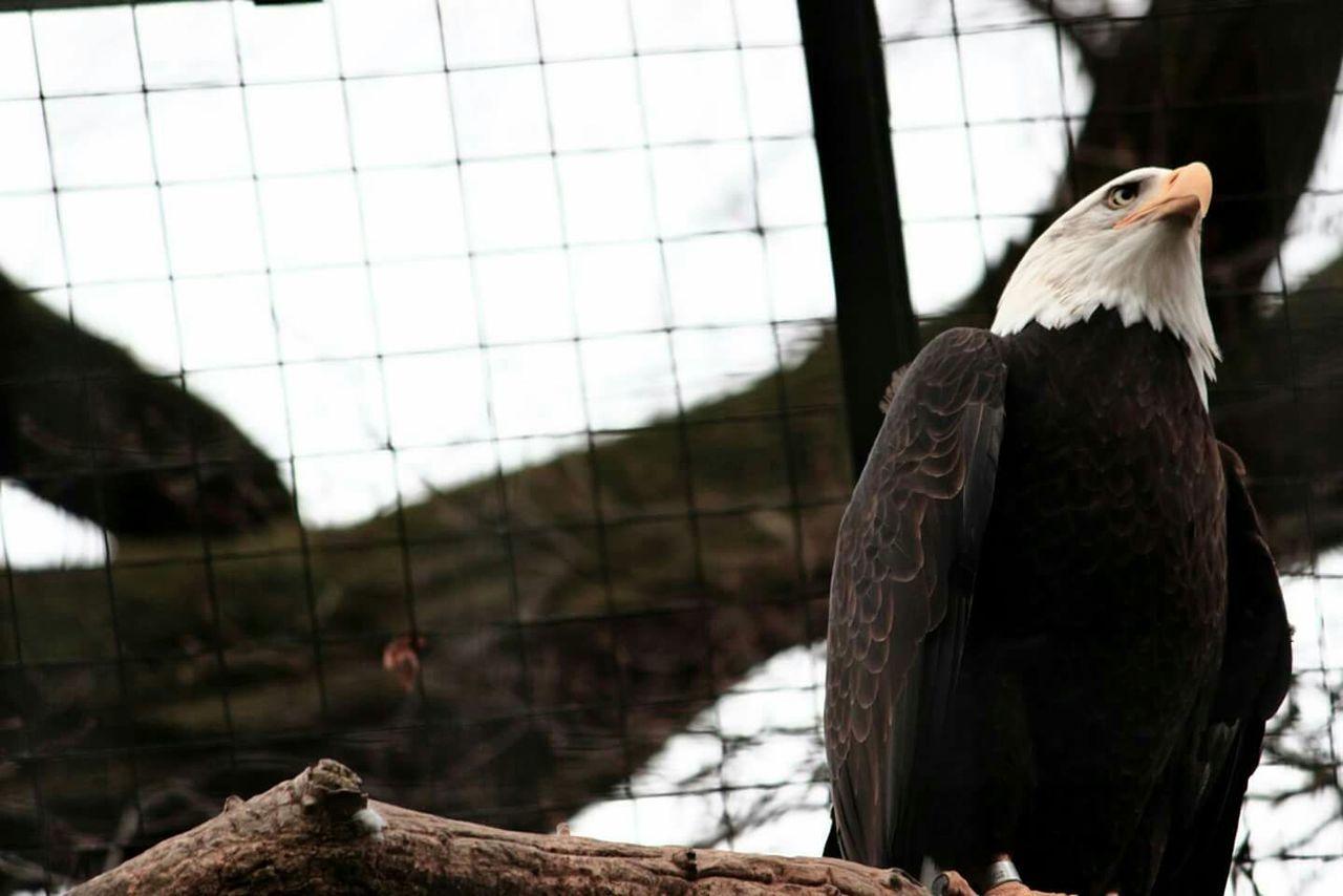 Beautiful stock photos of bald eagle, Animal Themes, Animals In Captivity, Bald Eagle, Bird