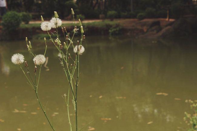 Nature Plant Growth Beauty In Nature Water Outdoors No People Fragility Tranquility Grass Day Flower Close-up Freshness Phoyography Photo