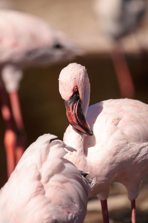 Pink lesser flamingo, Phoeniconaias minor, in the middle of a flock in India Flamingo India Lesser Flamingo Phoeniconaias Minor Pink Flamingo Animal Avian Bird Feather  Hooked Beak Pink Bird Pink Eye Red Eye Tropical Climate Waterfowl Wild Bird Wildbird Wildlife