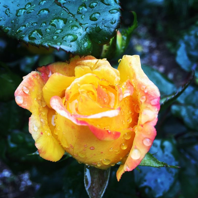 Flower Rose - Flower Yellow Nature No People