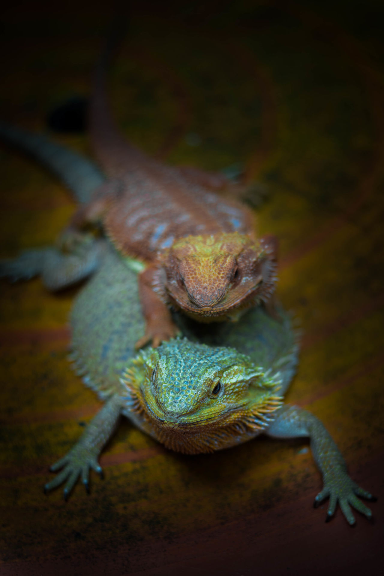 dragon lizard Animal Themes Chameleon Close-up Day Dragon Lizard Indoors  Lizard Lizard Nature Nature No People One Animal Pet Pet Photography  Reptile