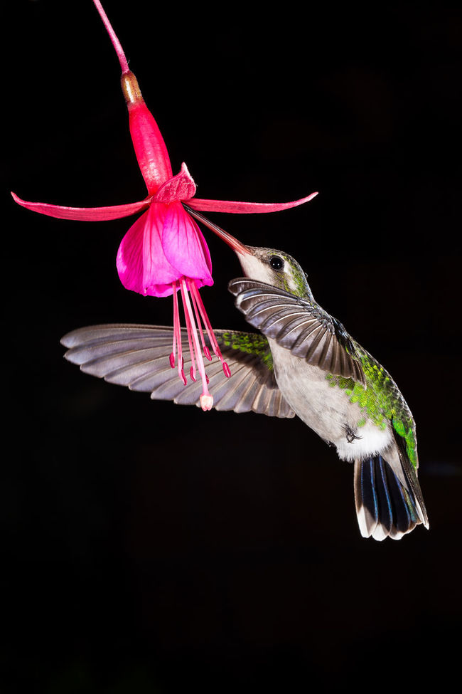 Beauty In Nature Black Background Close-up Flying Flying Bird Flying Birds Humingbird Humingbird In Flight Humingbirds Isolated Nature No People