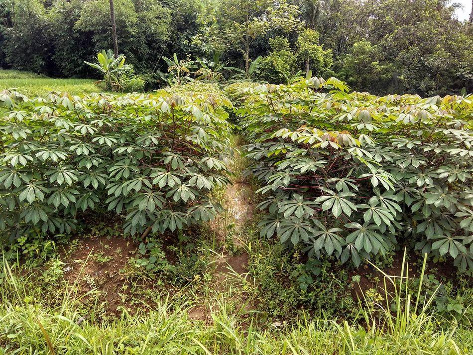 Growing the cassava plant Cassava Plants 🌱 Farmland Farming Green Green Green Green!  Foods Growing Plants