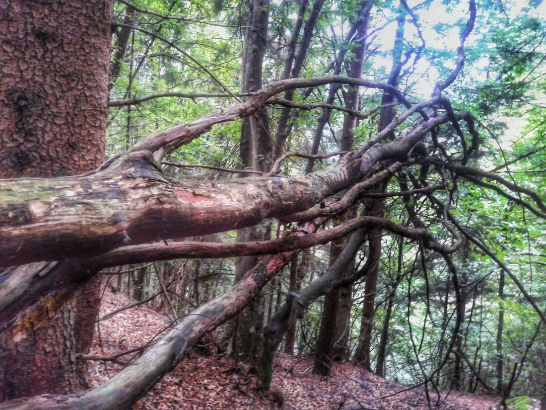 Looking for freedom What Who Where Tree Brenches Awry Nature Nature_collection In The Forest Walking In The Woods Italy Showcase April Break The Mold