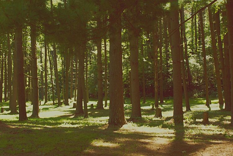 Nature Forest Tree Tranquility Day Beauty In Nature WoodLand Sunlight