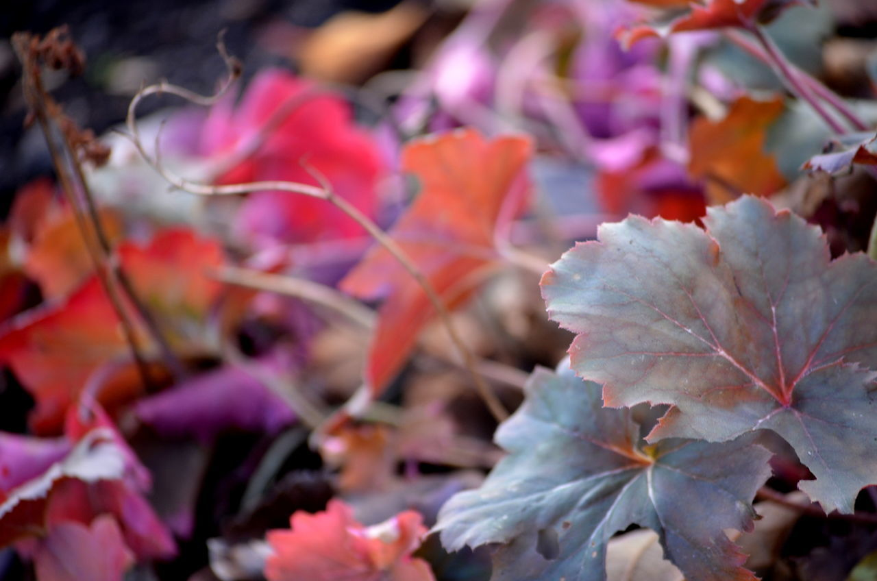 Autumn Beauty In Nature Change Colourful Coulors Of Nature Day Freshness Growth Leaf Maple Nature No People Outdoors Pink Leaves Purple Flower Rosé