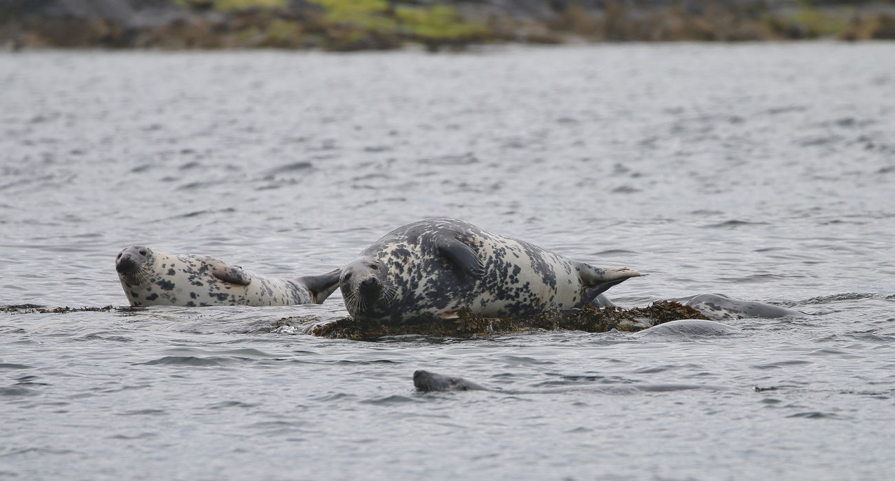 Grey Seal in the Farne Islands Animal Themes Animal Wildlife Animals In The Wild Day Mammal Nature No People One Animal Outdoors River Swimming Water
