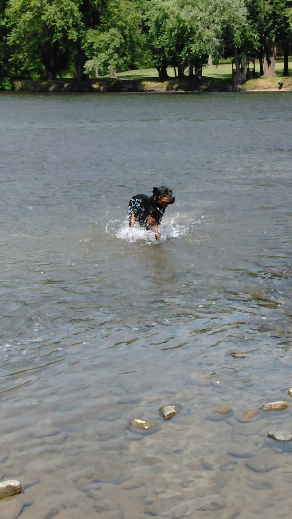 Splish splash... Check This Out Playing In The Water Allegheny River Onlygodcouldcreatethis Sawonmyadventure Very Inspired By My Muse No Edit/no Filter Rottweilerlove Rottweiler My Buddy Ceasar Beating The Summer Heat Rottweilerlife
