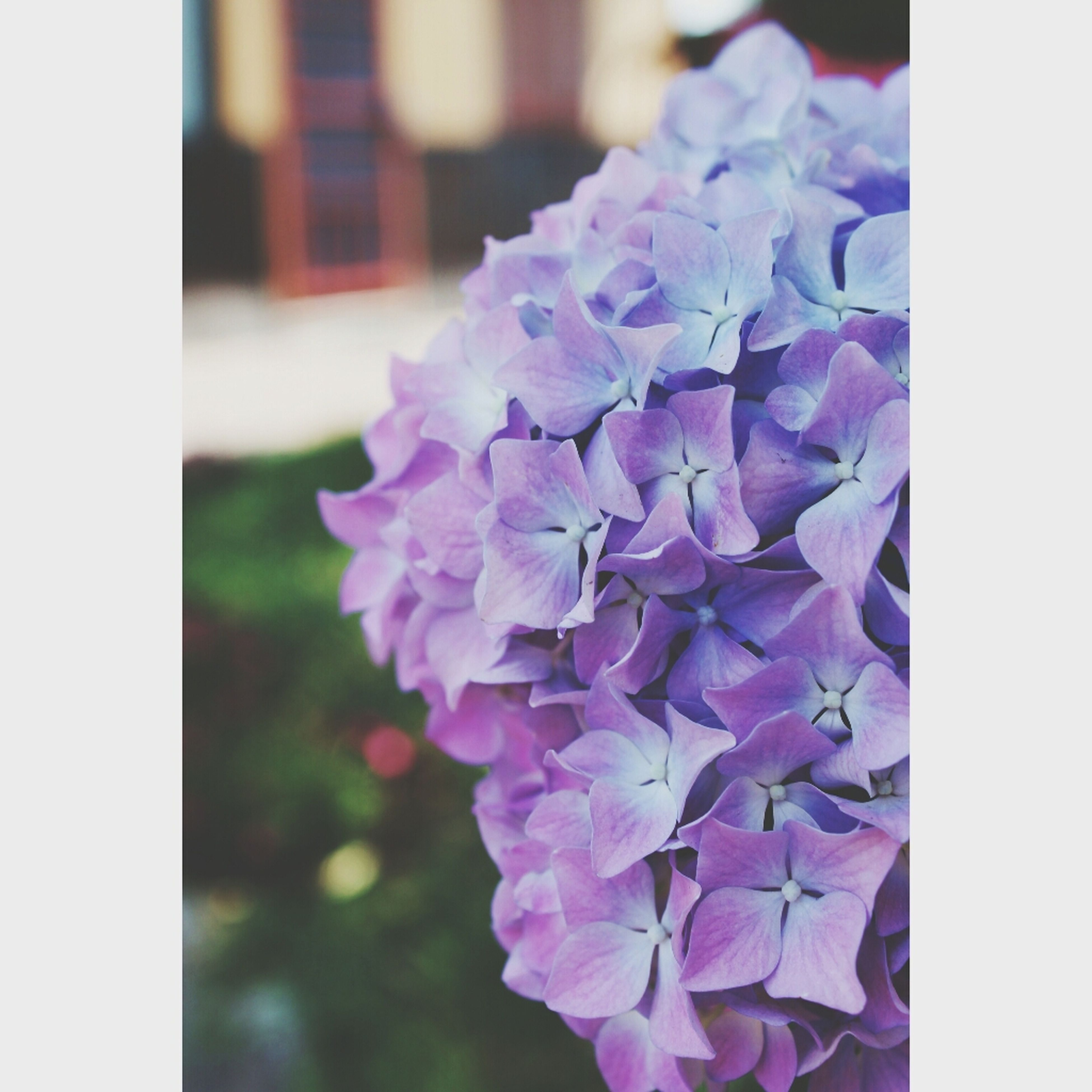 transfer print, flower, freshness, auto post production filter, fragility, petal, purple, flower head, beauty in nature, close-up, growth, focus on foreground, blooming, nature, selective focus, no people, in bloom, blue, plant, abundance