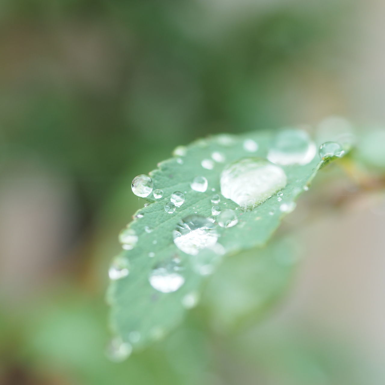 Raindrops Drop After Rain After The Rain Tranquil Scene Macro Beauty Close-up Beauty In Nature Macro Macro Photography Leaf Mirrorless Green Color Japan