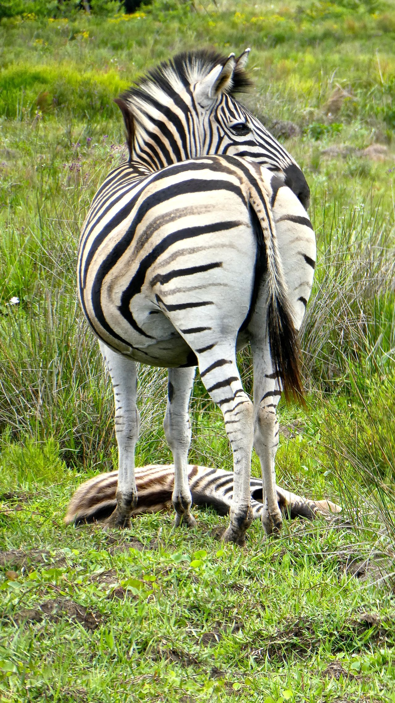 Animal Markings Animal Themes Animal Wildlife Animals In The Wild Grass ISimangaliso Wetland ISimangaliso Wetland Park Kwazulu Natal Kwazulunatal Nature No People Outdoors Safari Safari Animals Safari Park Safaripark Southafrica SouthAfrican St Lucia Wetland Park Striped Südafrika Zebra