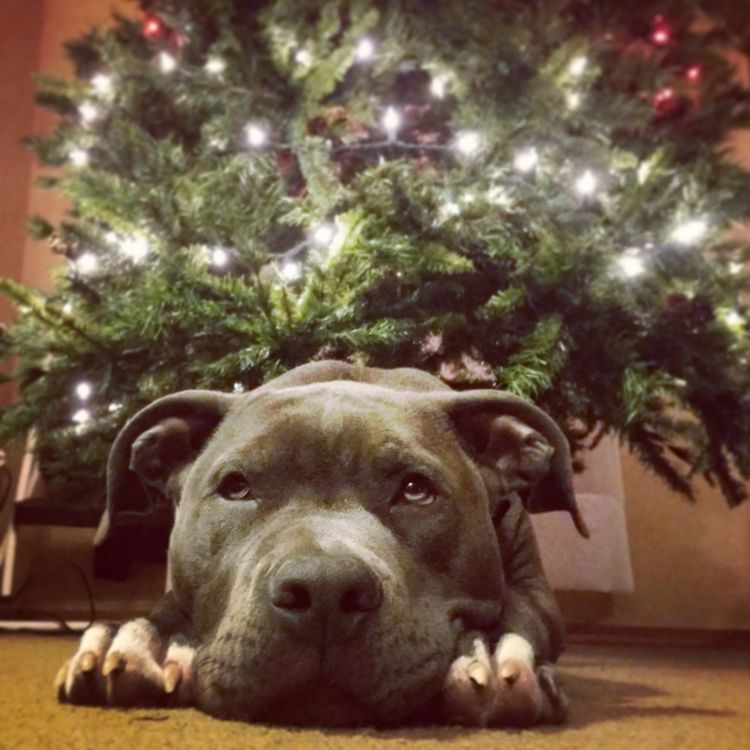 ?He can hardly stand the wait! Please Christmas don't be late!? Christmas Pets Taking Photos I Love My Dog