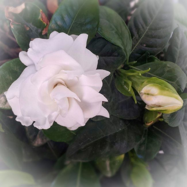 In my garden.. my favourite floral smell.. Gardenia Fragility Flower Freshness Petal Flower Head Close-up Growth Beauty In Nature Rose - Flower Leaf Nature Single Flower Plant Selective Focus Springtime Softness Blossom Macro Rosé Bloom Gardenia