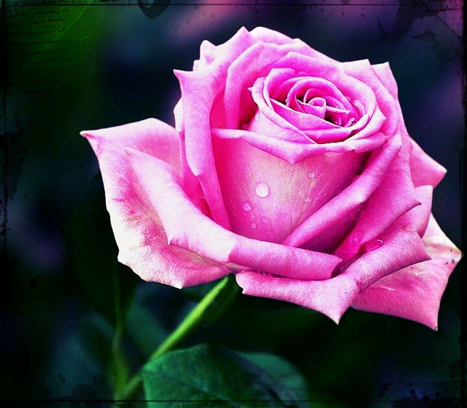 Flower Pretty Rose  ♥