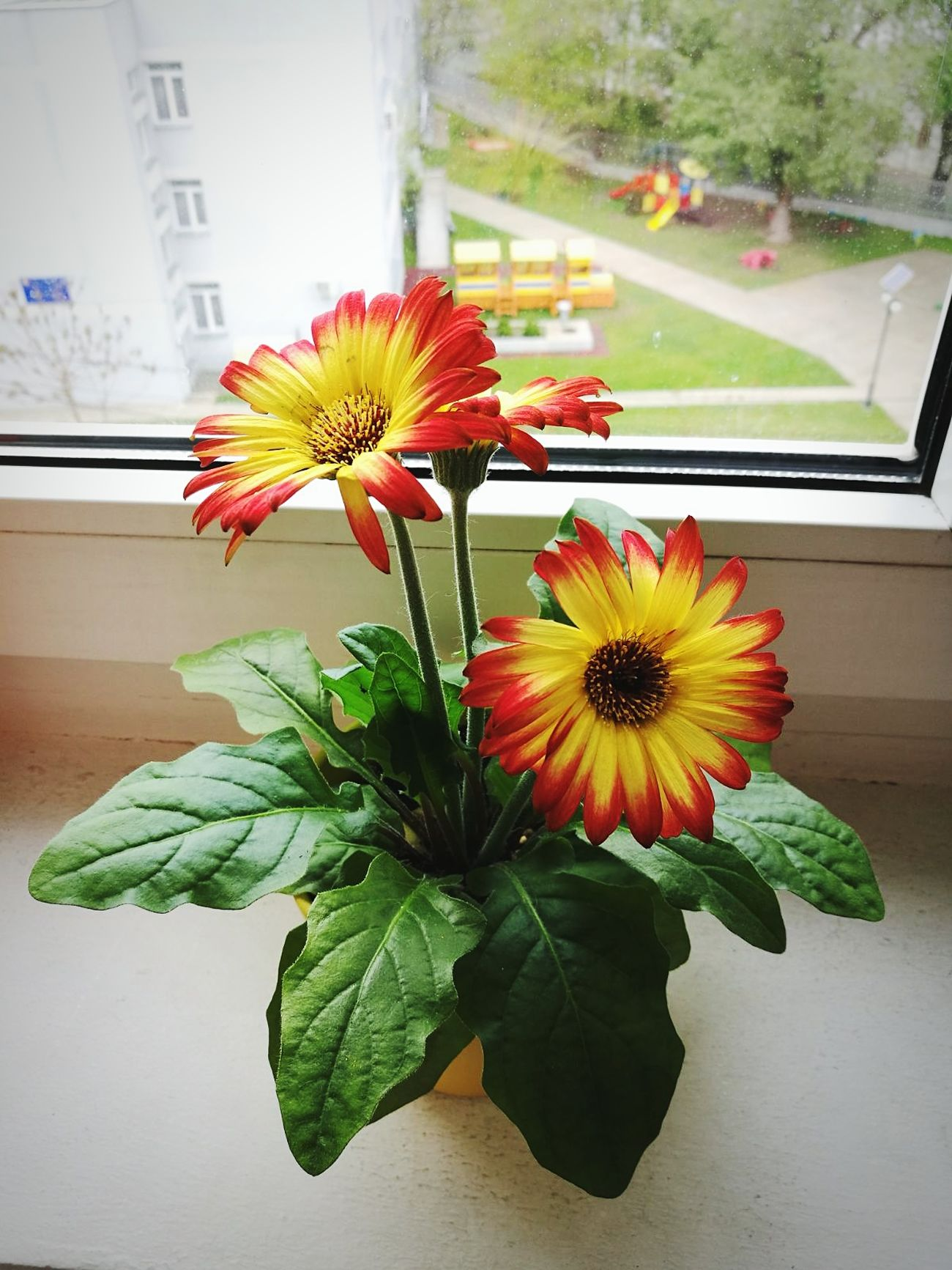 Flower Flower Power🌼 Petals🌸 Freshness Plant Fragility Day Nature No People Growth Indoors  Window Yellow & Red