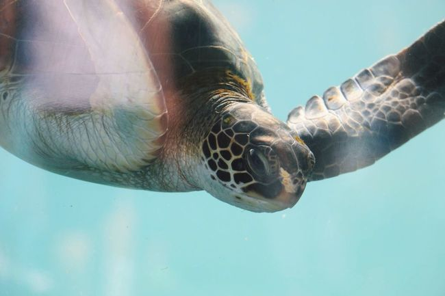Outdoors Turtle Sea Sea Turtle Maui Hawaii Ocean Underwater Close-up Traveling Water Light Lighting Travel Reptile Wildlife Animals