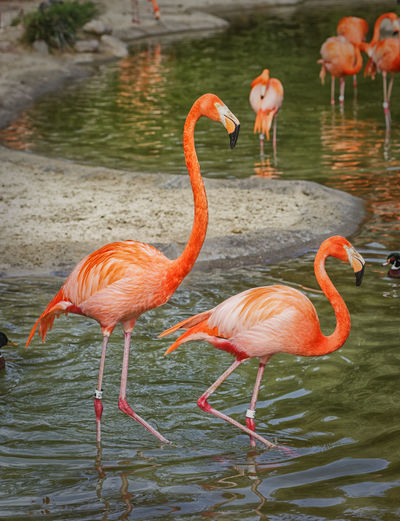 Flamingo Animal Themes Animal Wildlife Animals In The Wild Beauty In Nature Bird Day Flamingo Lake Nature No People Outdoors Wading Water EyeEmNewHere