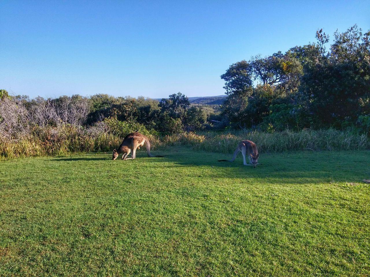 Beautiful stock photos of kangaroo, Animal Themes, Blue, Clear Sky, Day