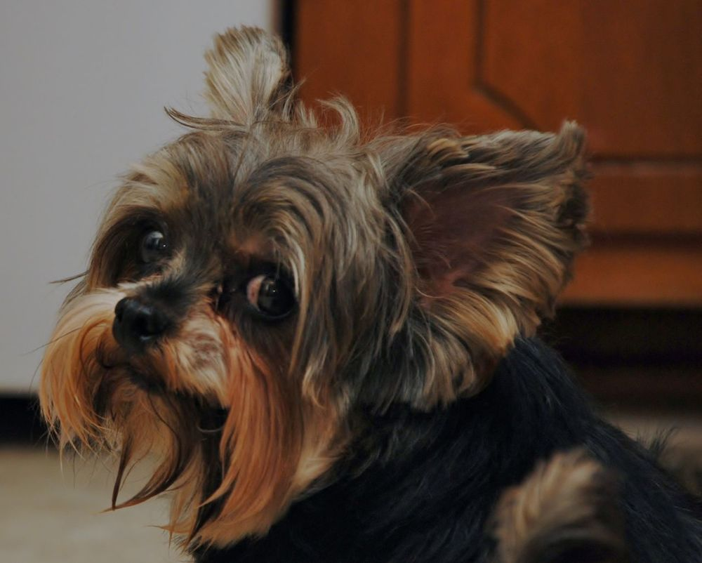 Animal Themes Cute Dog Friendly Collab Indoors  Mammal No People One Animal Pets Yorkie Yorkshire Terrier