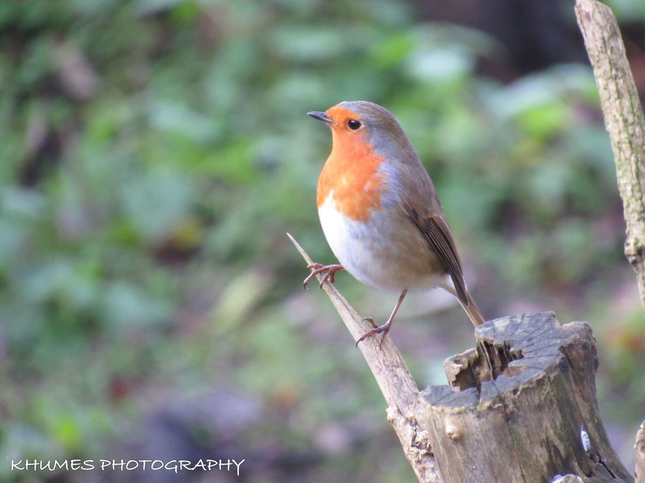 Robin Bird Animal Wildlife Perching Close-up Nature Branch Photo Photooftheday Nature Photography