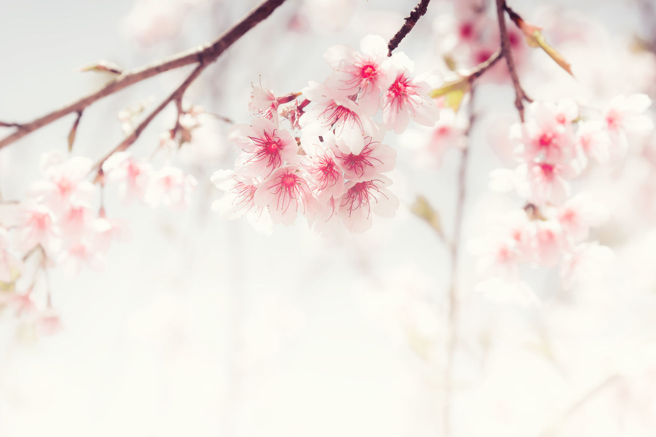 flower, cherry blossom, beauty in nature, fragility, blossom, pink color, nature, branch, freshness, springtime, growth, tree, cherry tree, close-up, no people, botany, selective focus, petal, apple blossom, stamen, day, plum blossom, twig, flower head, outdoors, tranquility, low angle view