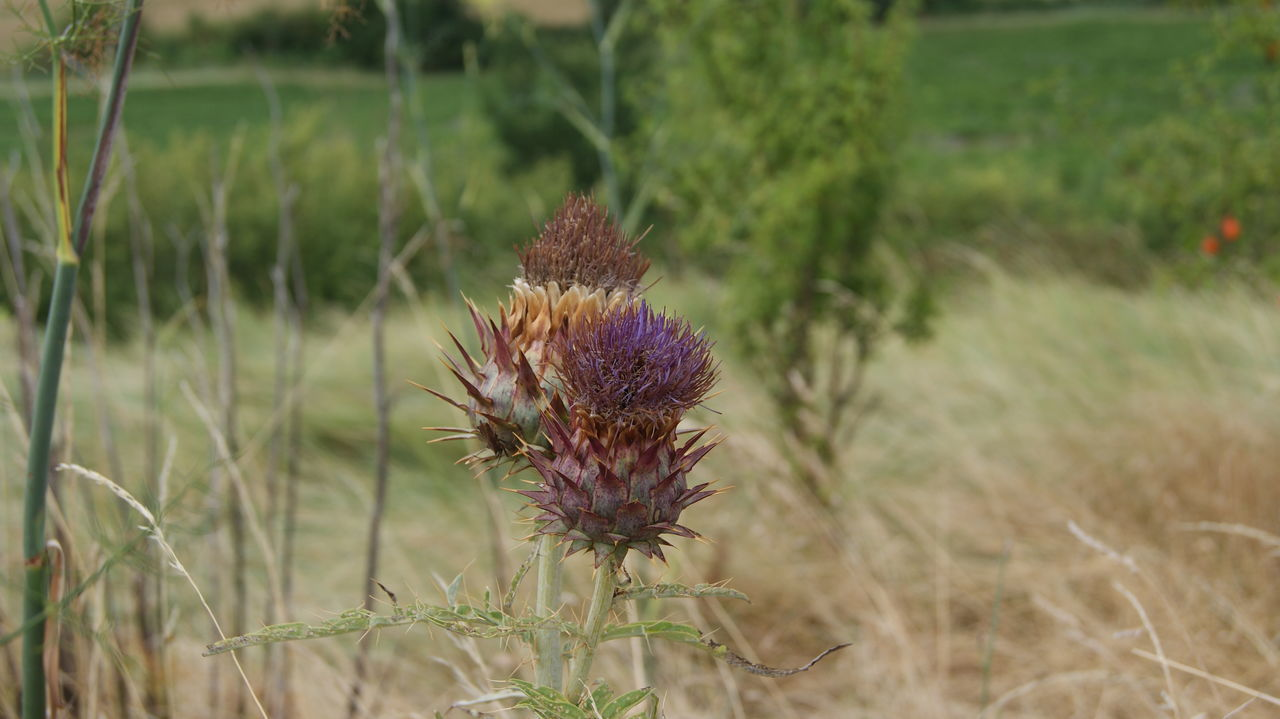 field, nature, plant, no people, grass, growth, flower, day, focus on foreground, outdoors, beauty in nature, close-up, thistle, fragility, flower head, freshness