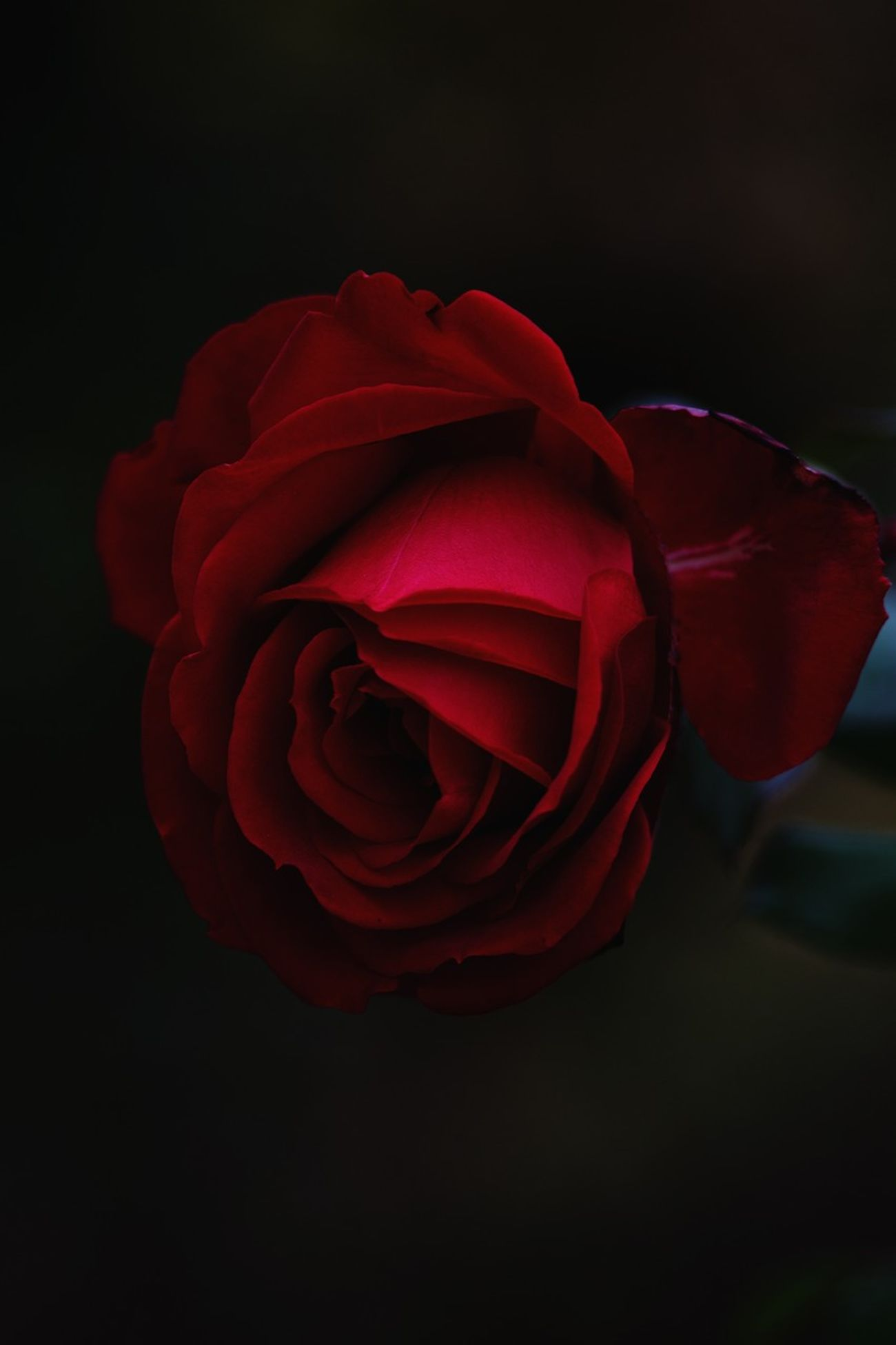Focus Blur Show What You Seeing. Flowers rs Freshness Fragility Flower Head Rose - Flower Close-up Red Single Flower Black Background Bloom Curled Up Springtime Softness Growth
