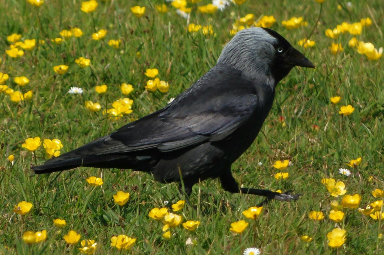 flower, one animal, animal themes, nature, animals in the wild, bird, yellow, field, grass, plant, day, outdoors, black color, no people, growth, beauty in nature, animal wildlife, blackbird, perching, raven - bird, close-up, freshness