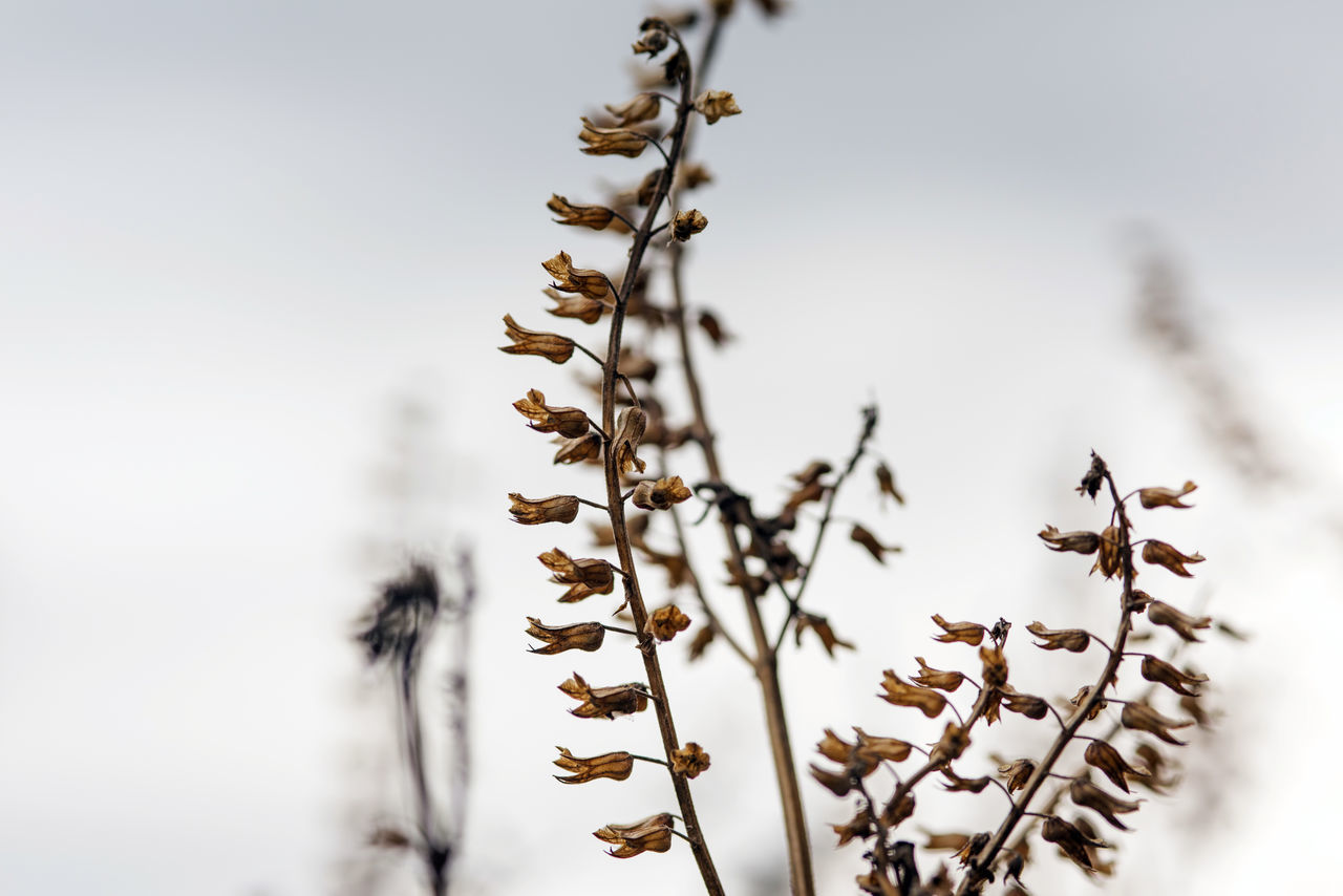 seed died shiso nature Japan plant Flower winter Brown Beauty In Nature Brown Close-up Died Japan Nature No People Outdoors Plant Seed Shiso Sky Tree Winter