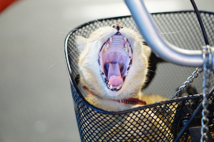 EyeEmNewHere One Animal Cage No People Pets Animal Themes Day Close-up Domestic Animals Mammal Outdoors Cat Cat Lover Yawning Cat Yawning Cats Looking Like They Are Roaring