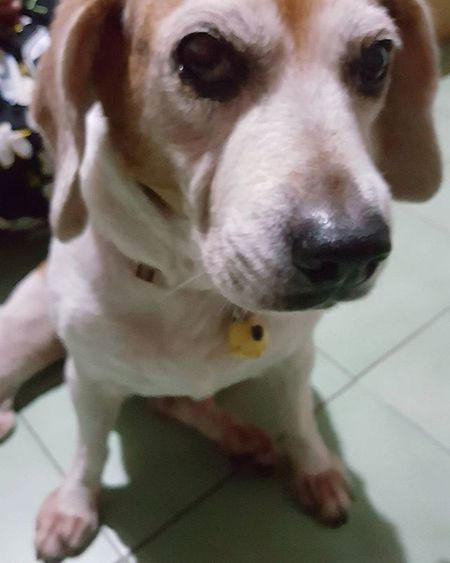 It's raning ,can't go outside to play Mymilinbaby Beagle