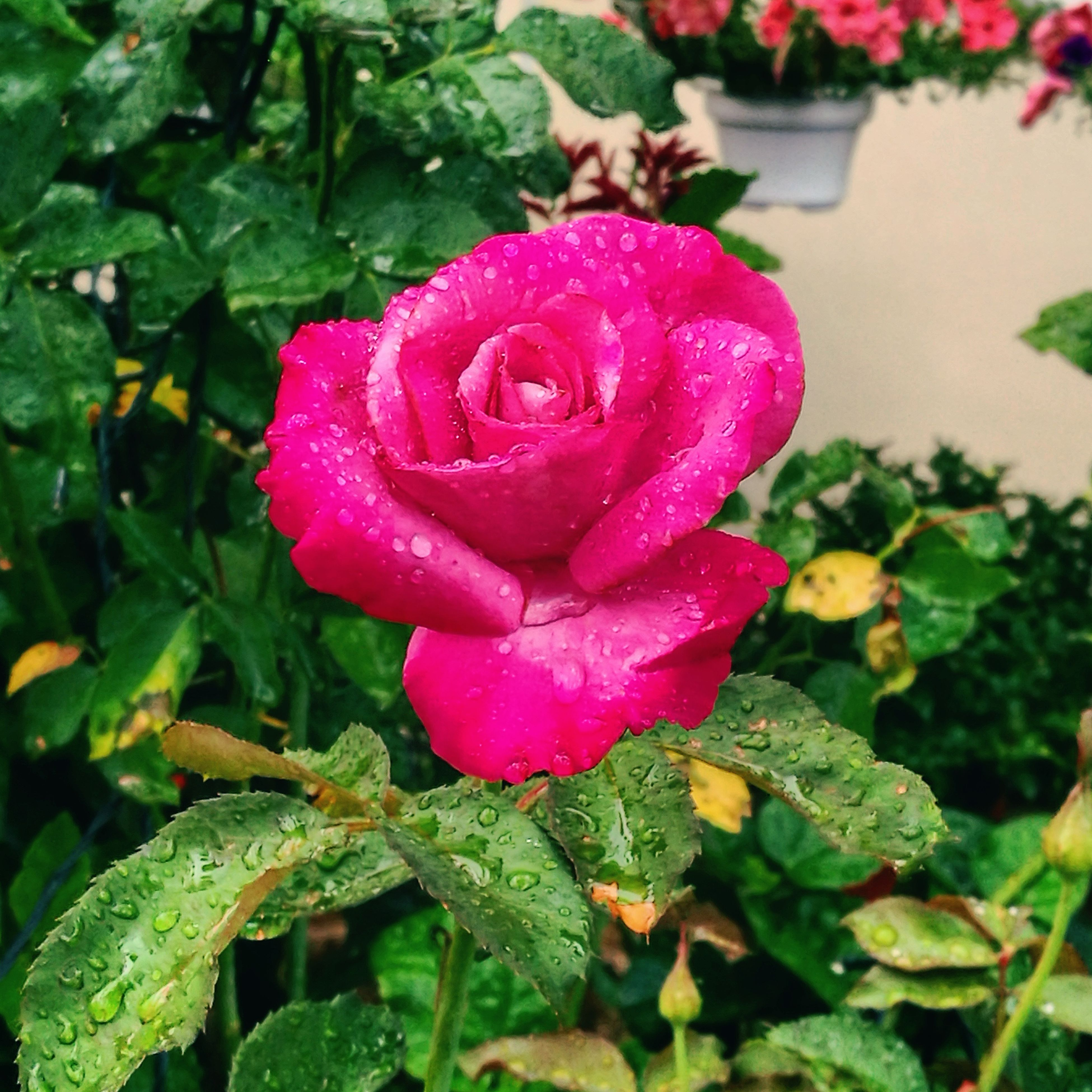 growth, nature, pink color, red, leaf, plant, beauty in nature, petal, outdoors, fragility, freshness, flower, close-up, blooming, no people, day, flower head