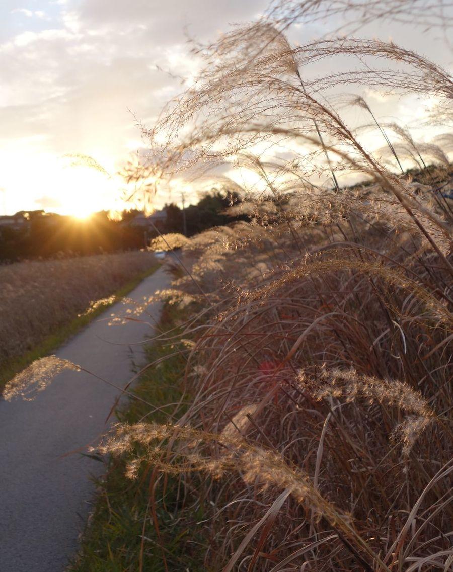 すすき Nature Sunset The Way Forward Sunlight Sun Scenics Tranquil Scene Road Grass No People Tranquility Outdoors Sky Beauty In Nature Landscape Day Tree