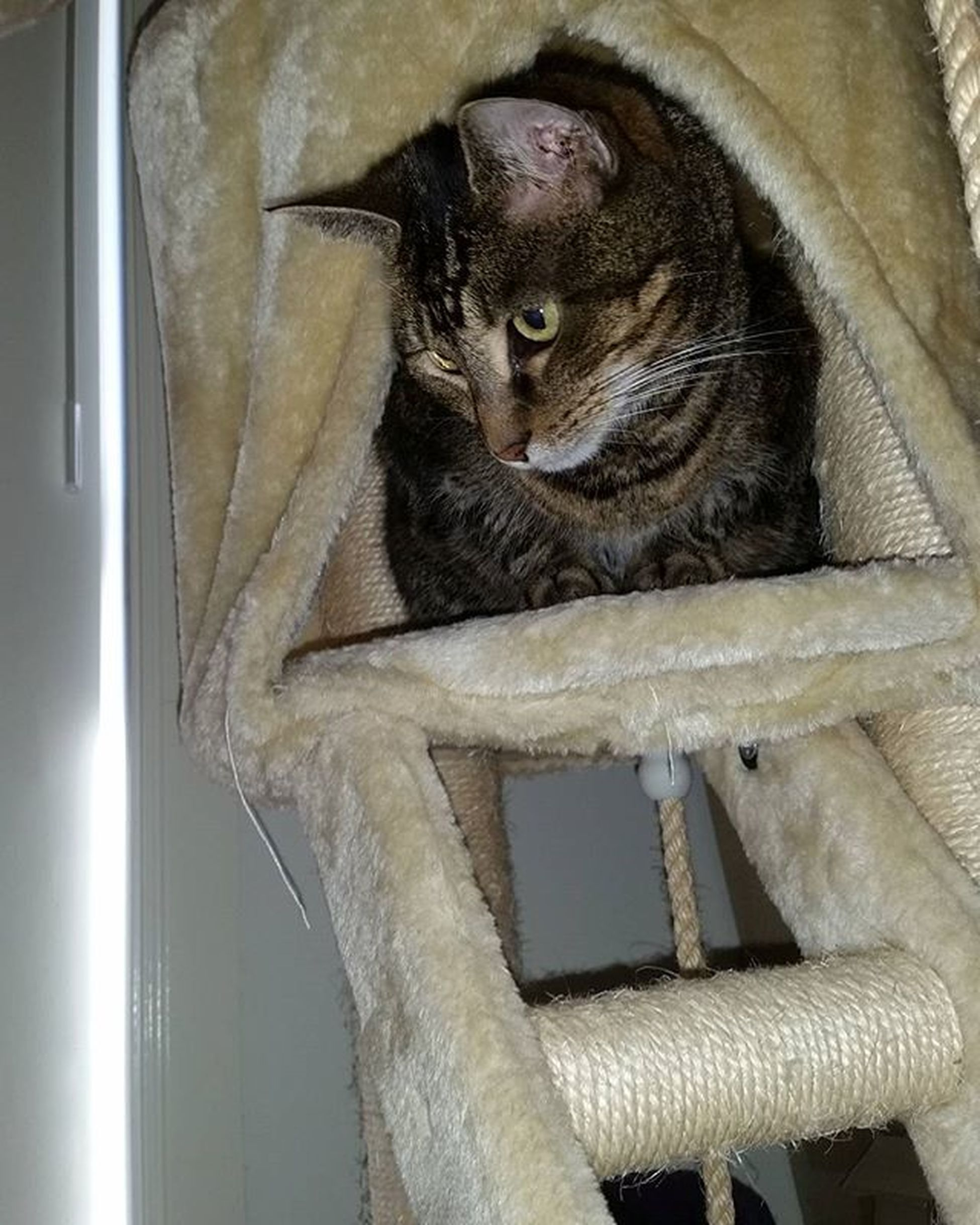 Xena wasn't as chill about it. She just kept looking for a way down. Lol Australia Australianliving Home Happy Cat Catsofinstagram Xena Selfie Catselfie Ikillyou Mylife Socute Cattower Catscratcher