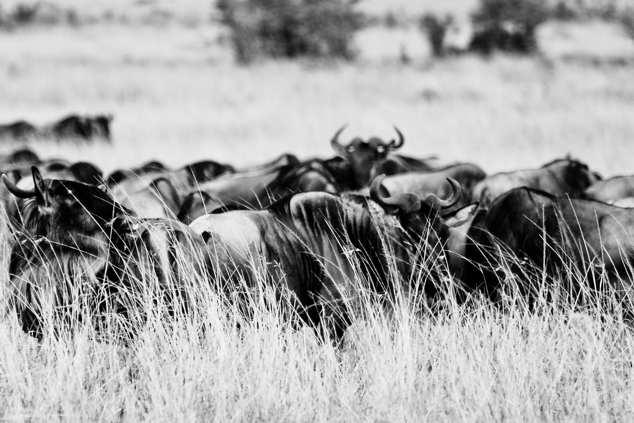 Maasai Mara, Kenya. Animals In The Wild Outdoors Nature Nikonphotographer Nikon Travel Travel Photography Africa Kenya Maasai Mara Wildlifephotography Wildlife & Nature Wildlife Animal Wildlife Nature