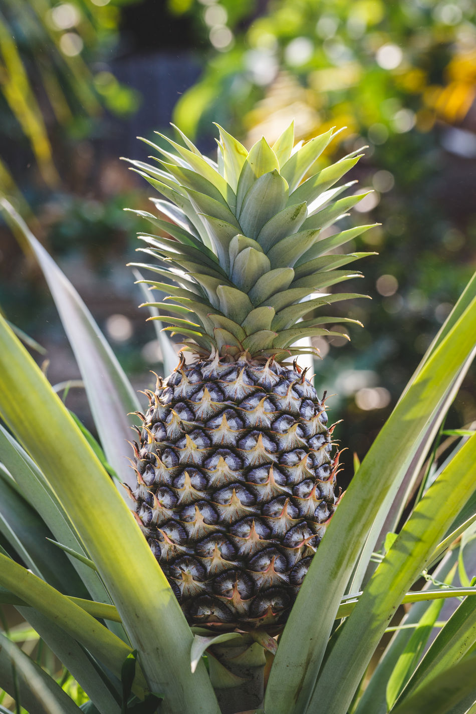 Pineapple tree ASIA Beautiful Beauty In Nature Blooming Close-up Flower Fresh Fruit Garden Grass Green Growth Healthy Eating Leaf Leisure Activity Light Macro Nature Pineapple Plant Pure Sunlight Tropical Vietnam Wallpaper