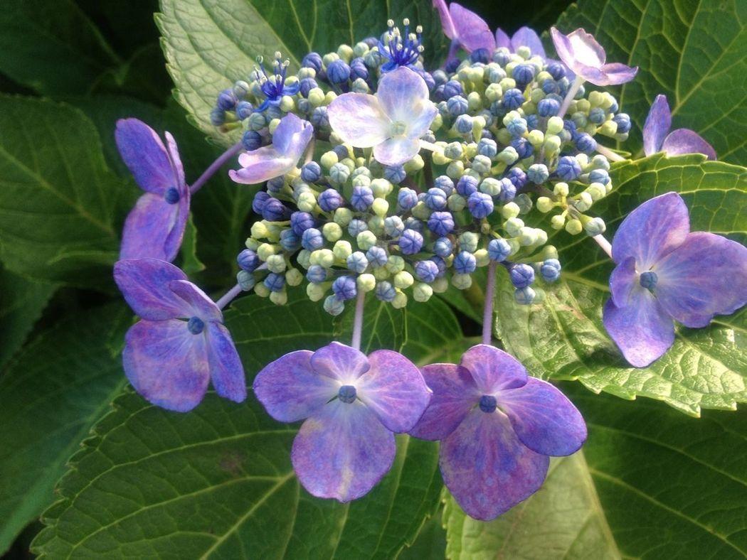 Hydrangea 紫陽花 Flowerporn Nature_collection