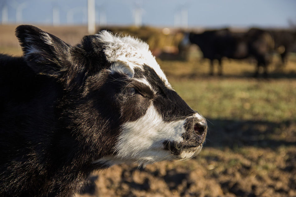 Agriculture Animal Animal Head  Black Black Angus Calf Canon60d Canonphotography Cattle Day Domestic Animals Farm Livestock Outdoors Ranch Spring White Face Young Animal