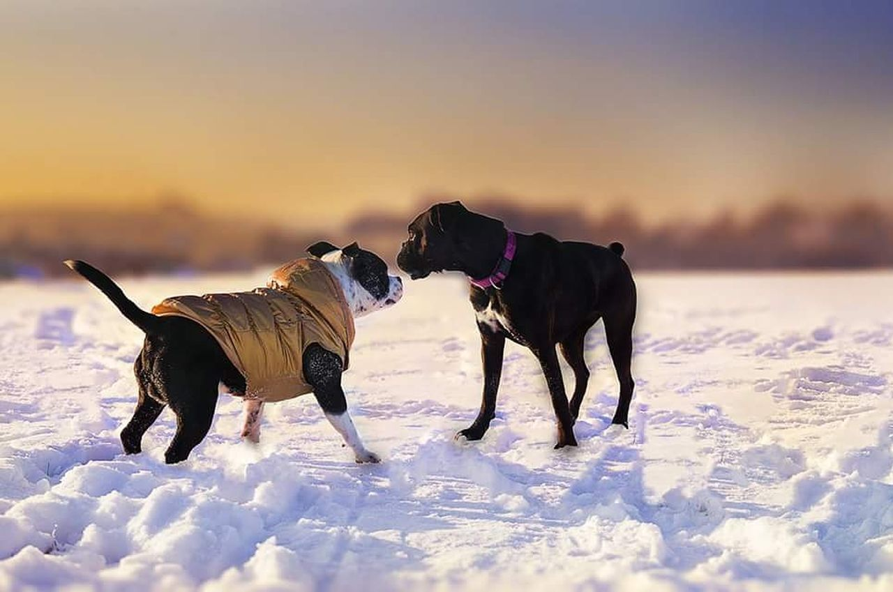 Winter Cold Temperature Sunset Snow Animal Landscape Nature Beauty In Nature Outdoors Day No People Animal Behavior Animal Themes Staffysmile Dog Love Boxer Dogs Boxer Staffordshirebullterrier Dogstagram Staffylovers Staffy Goddess Dogslife