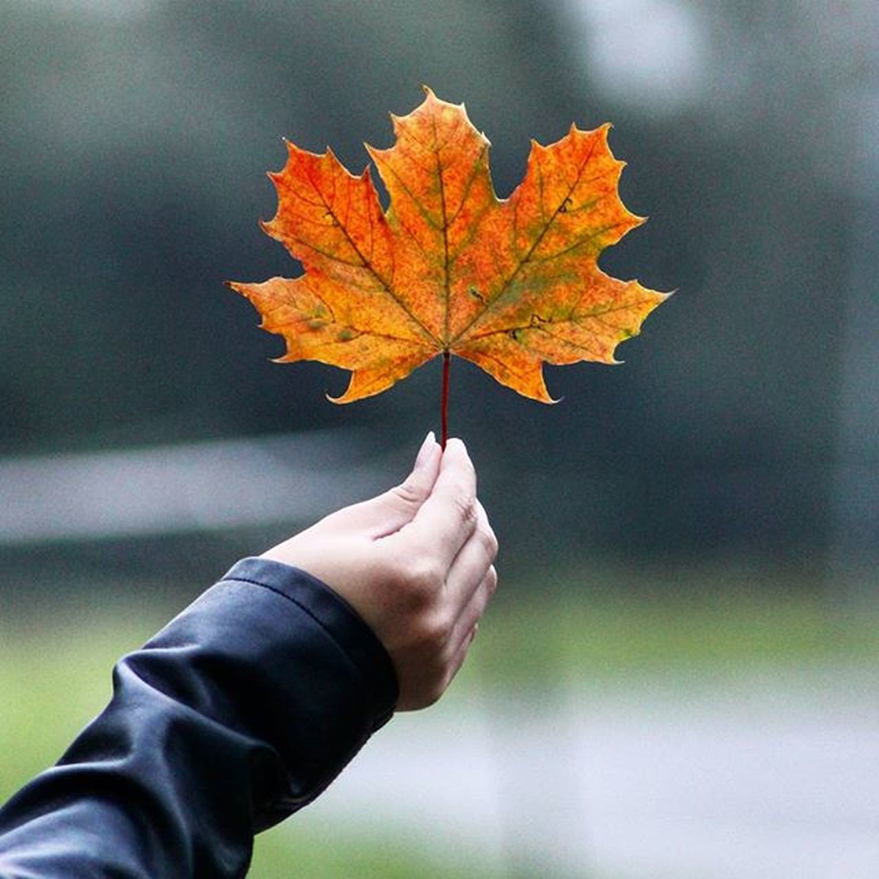 autumn, leaf, change, human hand, focus on foreground, maple, human body part, maple leaf, day, outdoors, nature, close-up, one person, beauty in nature, real people, people